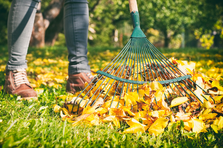 Photo for Gardener woman raking up autumn leaves in garden. Woman standing with rake. Autumnal work in garden. - Royalty Free Image