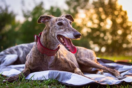 Photo for Cute greyhound is resting at blanket outdoors. Spanish Galgo. Purebred dog at sunset - Royalty Free Image