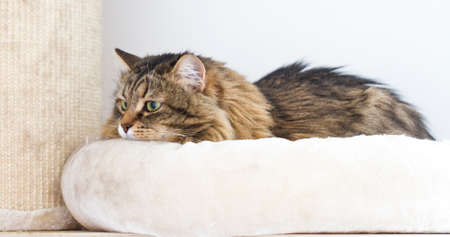 brown cat of Siberian breed, female on the scratching post