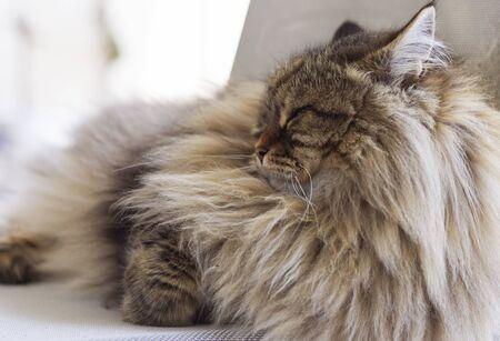 Foto de Beautiful long haired cat in relax on a garden chair, siberian breed - Imagen libre de derechos