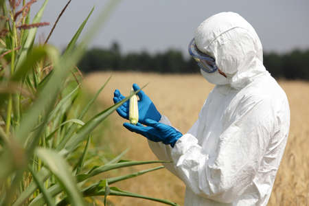 scientist examining immature corn cob on field