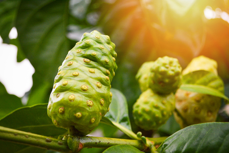 Foto per Noni fruit herbal medicines / fresh noni on tree Other names Great morinda, Beach mulberry - Immagine Royalty Free