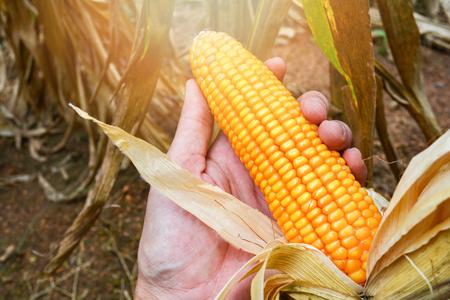 Foto für Ripe corn on hand farmer harvest in corn field product of agriculture asia - Lizenzfreies Bild