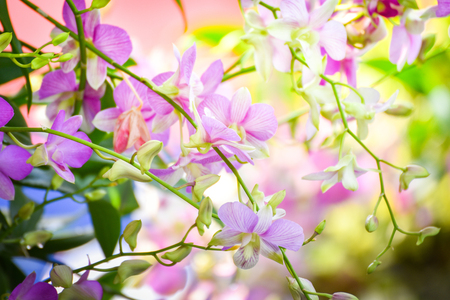 Tropical plant beautiful orchid pink and purple flower in the spring summer garden nature blur floral background