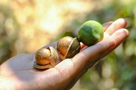 Photo for Shelled and unshelled macadamia nuts on hand harvested from macadamia trees - Royalty Free Image