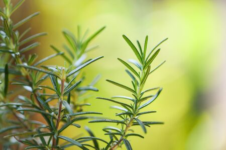 Photo for Organic rosemary plant growing in the garden for extracts essential oil / Fresh rosemary herbs nature green background , selective focus - Royalty Free Image