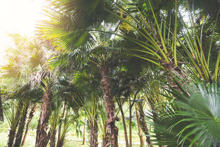 Photo pour tropical palm tree in the palm garden agriculture asia in summer - image libre de droit
