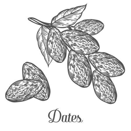 Illustration pour Dates. Hand drawn vector illustration of dried dates (Ramadan Iftar food) organic food date palm on white background. - image libre de droit