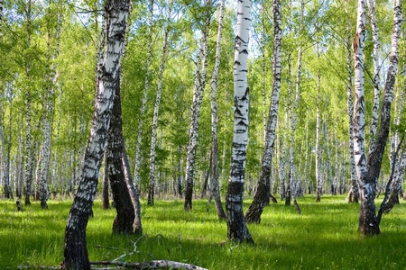 Birch Forest In Summer