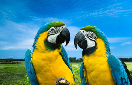 close-up of a beautiful blue-and-yellow macaw's in love (Ara ararauna)