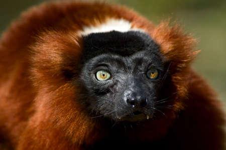 close-up of a a red ruffed lemur