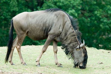 close-up of a Blue wildebeest (Connochaetes taurinus) grazing