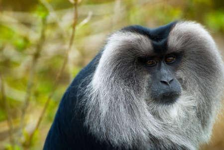 closeup of a Lion-tailed Macaque (Macaca silenus)
