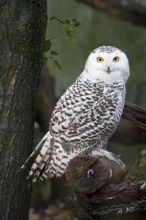 portrait of a beautiful snow owl (Bubo scandiacus)