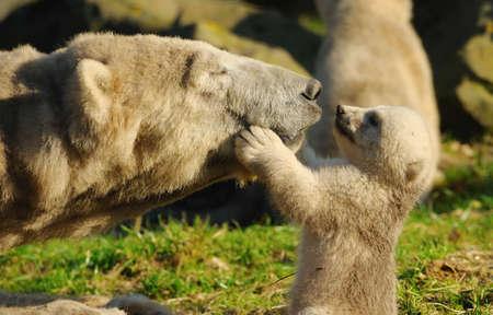 Photo pour close-up of a polar bear and her cute cub - image libre de droit