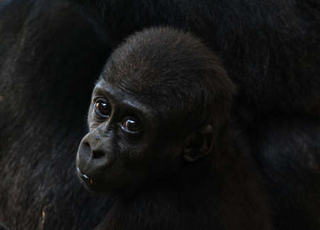 close-up of a a cute baby gorilla
