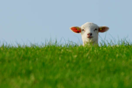 Photo for funny image of a cute lamb in spring - Royalty Free Image
