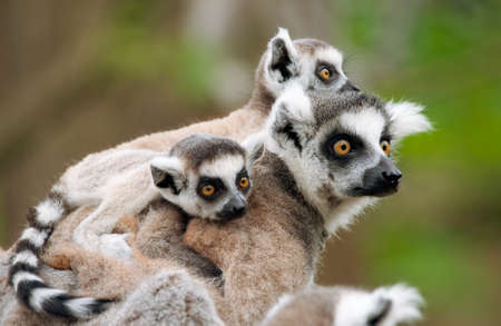 Photo for close-up of a ring-tailed lemur with her cute babies (Lemur catta) - Royalty Free Image