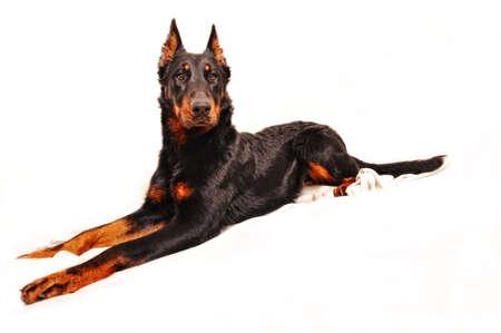 A ver noble dog.