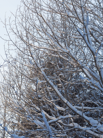 tree branches in the snow. winter