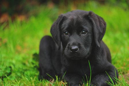 Photo pour Black Labrador puppy on the grass. happy dog sitting in the park. - image libre de droit