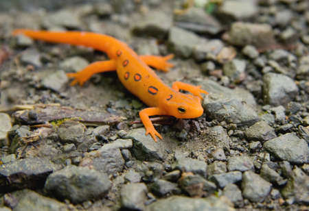 Close-up of Red Spotted Eastern Newt (Red Eft) or salamander.