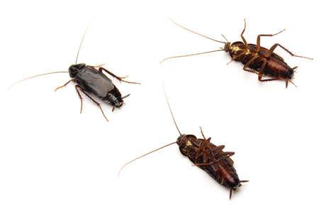 Three Oriental Cockroaches (Blatta orientalis) isolated on white background.