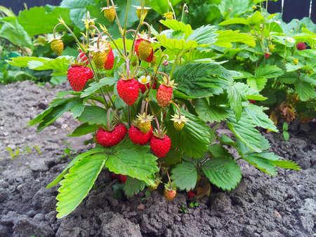 Strawberry plant, Fragaria vesca, Woodland Strawberry, European wood strawberry