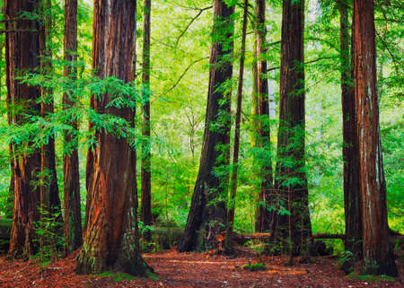 Foto de Redwood Trees in Forest, Northwest Rain Forest - Imagen libre de derechos