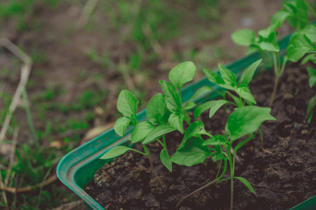 Photo pour Cucumber plant in seedling on a rustic wooden table. Growing seedlings in peat pots. Plants seeding in sunlight in horticulture and horticulture - image libre de droit