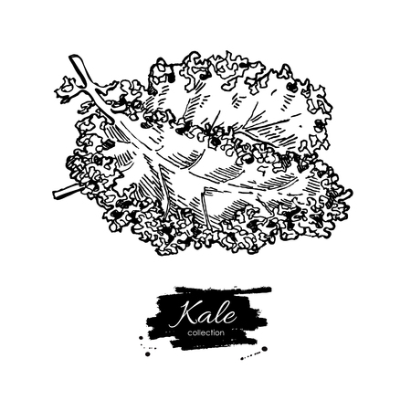 Illustration pour Kale hand drawn vector. Vegetable engraved style illustration. Isolated Kale. Detailed vegetarian food drawing. Farm market product. - image libre de droit