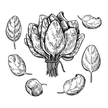 Illustration pour Spinach leaves hand drawn vector set. Isolated Spinach leaves drawing on white background. Vegetable engraved style illustration. Detailed botanical drawing. Farm market product - image libre de droit