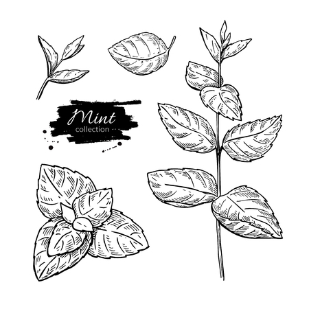 Mint vector drawing set. Isolated mint plant and leaves. Herbal engraved style illustration. Detailed organic product sketch. Cooking spicy ingredientのイラスト素材