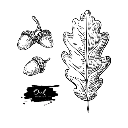 Illustration pour Vector oak leaf and acorn drawing set. Autumn elements. Hand drawn detailed botanical illustration. Vintage fall seasonal decor. Great for label, sign, icon, seasonal decor - image libre de droit