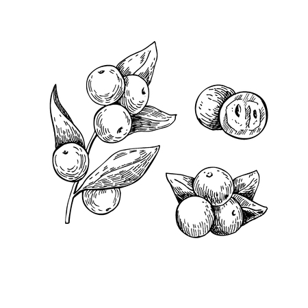 Illustration pour Camu camu vector superfood drawing. Isolated hand drawn  illustration on white background. Organic healthy food. Great for banner, poster, label - image libre de droit