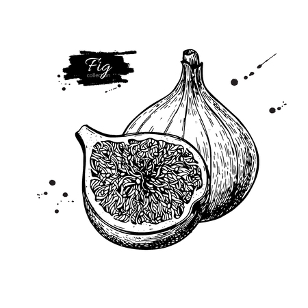 Illustration for Fig vector drawing. Hand drawn fruit and sliced piece. Summer fo - Royalty Free Image