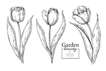 Illustration pour Tulip flower and leaves drawing. Vector hand drawn engraved - image libre de droit