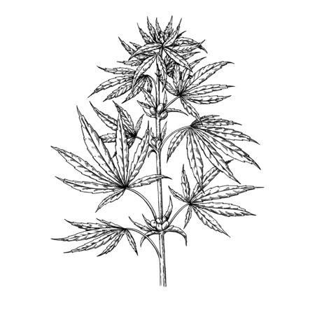 Illustration for Marijuana plant vector drawing. Cannabis botanical illustration. Hemp vintage sketch. Medical drug. Engraving style object isolated on white background. Great for shop label, emblem, sign, packaging - Royalty Free Image
