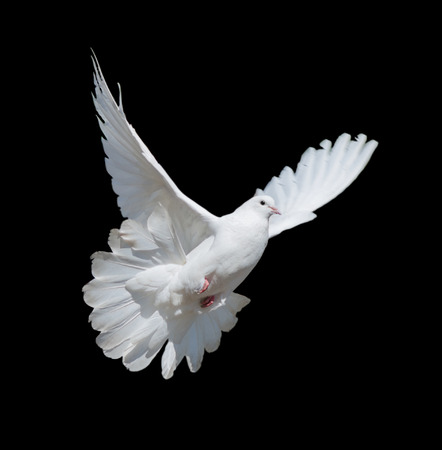 Photo for Flying white dove isolated on a black background - Royalty Free Image