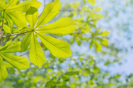 Photo pour Beautiful natural background. Green leaves of chestnut against the blue sky on a clear summer day - image libre de droit