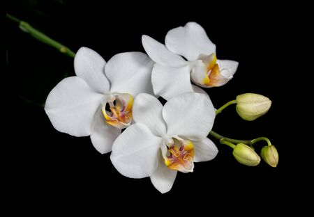 White flowers of a phalaenopsis orchid with several buds on a branch, isolated on a black background
