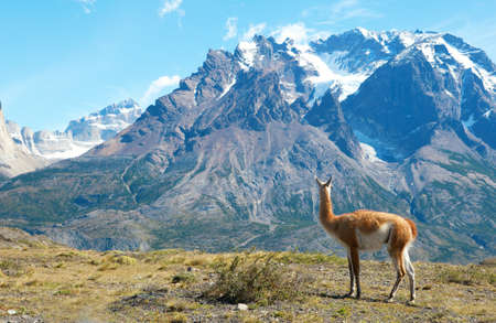Guanaco in Torres del Paine national park admiring the mountains