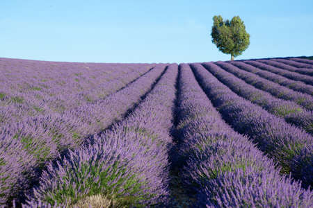 Beautiful lavender field near Valensole, France