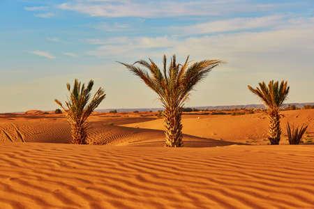 Palm trees and sand dunes in the Sahara Desert, Merzouga, Morocco