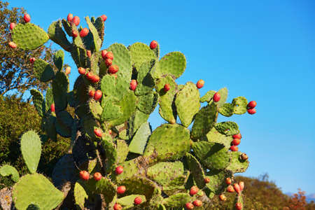 Photo pour Prickly pear cactus (Opuntia, ficus-indica, Indian fig opuntia) with fruits - image libre de droit