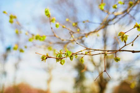 Photo pour Tree branch with first green leaves on it on a spring day - image libre de droit