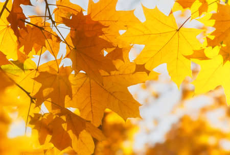Photo pour Bright yellow maple leaves, fall season outdoor background - image libre de droit