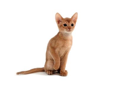 Foto de Abyssinian ginger cat sits and raises its paw on a white background - Imagen libre de derechos