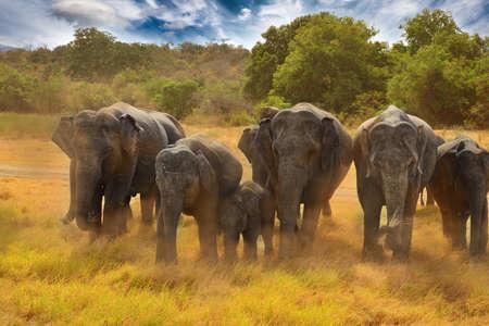 Sri Lankan Elephants in Minneriya