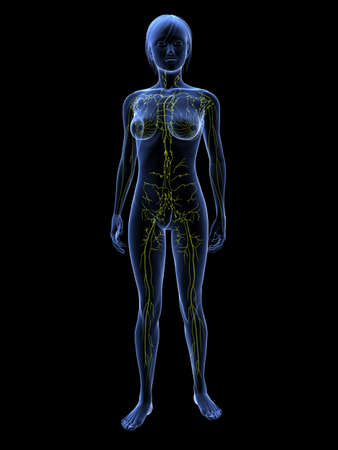 transparent female body with lymphatic system